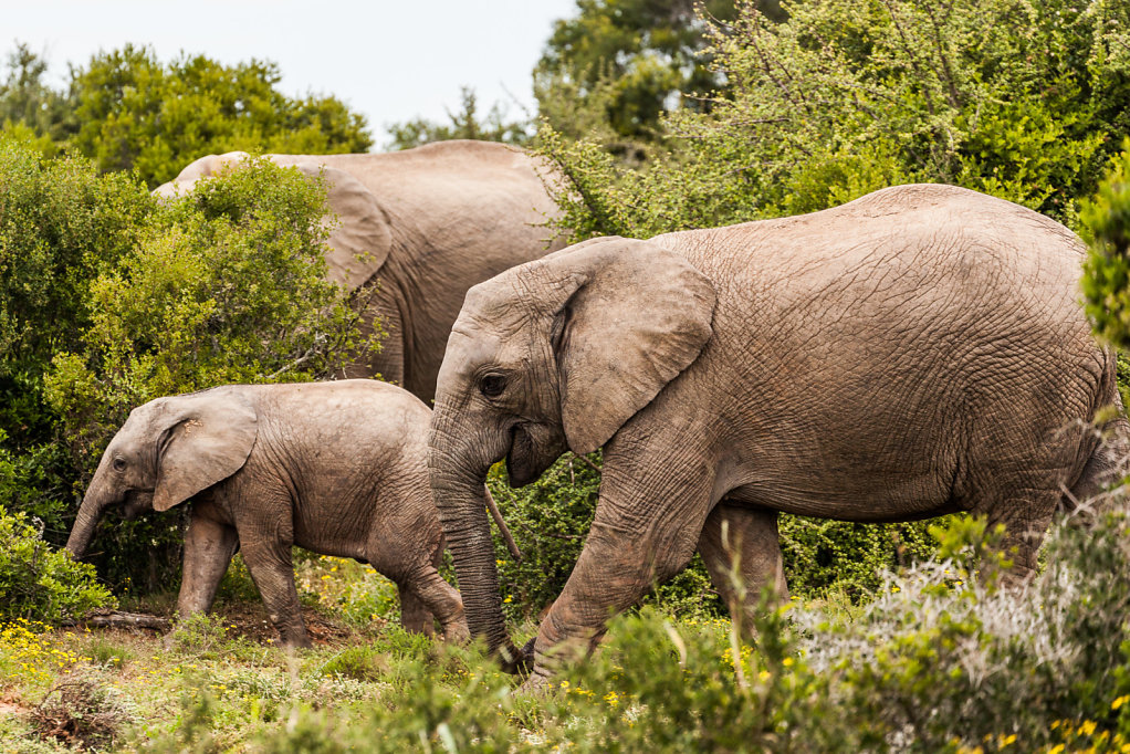 RR-201510xx-southafrica-elephants-4.jpg